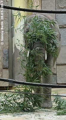 Hidden Mongu, Zoo Vienna, May 2013